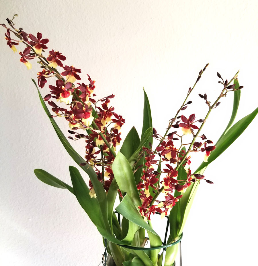 Red and yellow Oncidium orchid